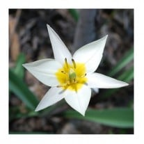 "Organic Botanical Tulips ""Turkestanica"""