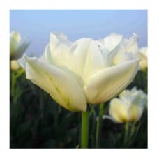 "EcoTulips: Organic Tulip ""Global Desire"" 1"