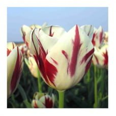"EcoTulips: Organic Tulip ""Grand Perfection"" 1"