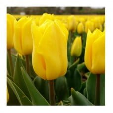"EcoTulips: Organic Tulip ""Yellow Flight"" 1"
