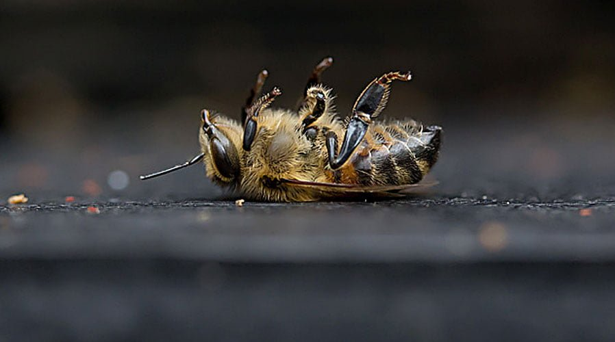 dying-bee