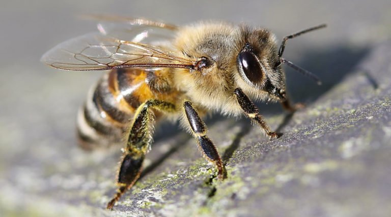 Insecticide Alters Honeybee Genes