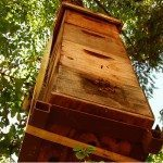 Tree Hive Bees- Scientific Research to Save the Honeybees