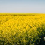 Young proud apiarist holding a smoker on a rapeseed field and looking into the sun. Selective focus, narrow depth of field, copy space