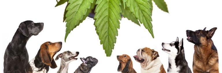 7 Outstanding Benefits Of CBD Oil For Dogs